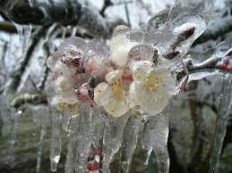 замръзнало плодно дърво
