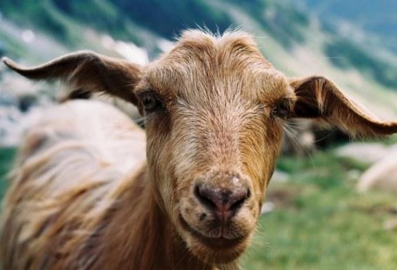 Още вземат проби за чума от козите и овцете