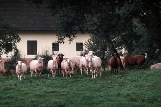Ще позволят ли търговията с овце и кози