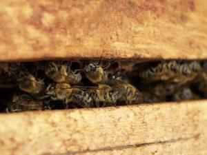 пчели в кошер