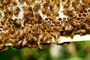 Знаете ли какви проблеми имат пчеларите тази година