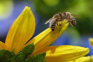 пчели върху слънчоглед