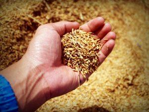 зърно в шепа