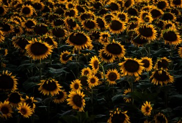 В Бургаско ожънаха пшеницата и дойде ред на слънчогледа