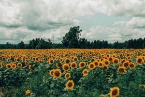 слънчогледи