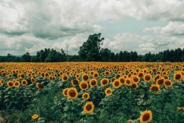 Издирват неизвестен, ожънал слънчогледова нива край Балчик