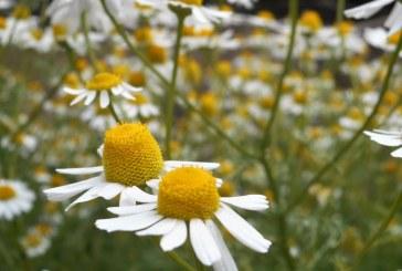 Активния сезон за събиране на билки започва