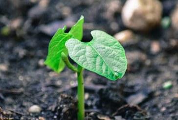 Как да подготвим почвите за зеления фасул