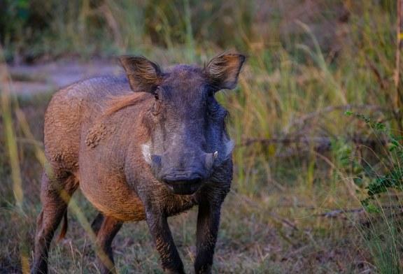 За сега всички проби от диви свине са отрицателни