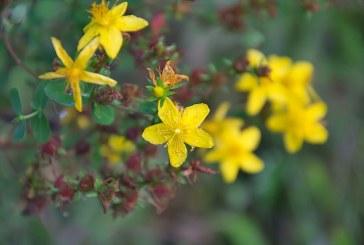 Как да подготвим разсад от жълт кантарион