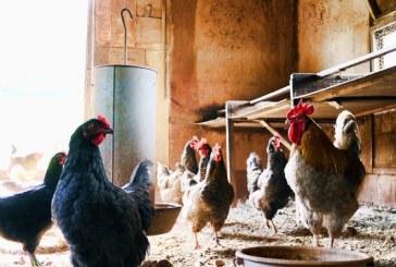 В Богданица птицефермата е частично заразена