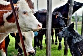 Кои са най-продаваните крави у нас