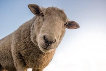 В Кюстендилско овца реагира положително за бруцелоза