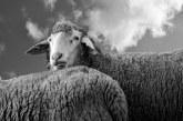 Отменят деветото издание на Националния събор на овцевъдите в България