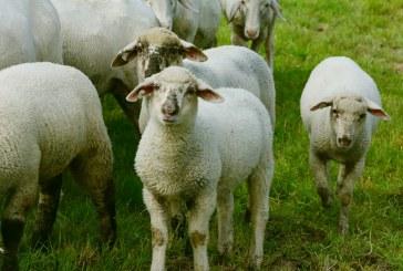 Расте броя на умрелите овце в Болярово