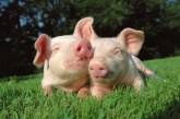 Следим здравето на свинете с технология за лицево разпознаване