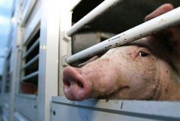 Русия спря вноса на българско свинско и живи прасета