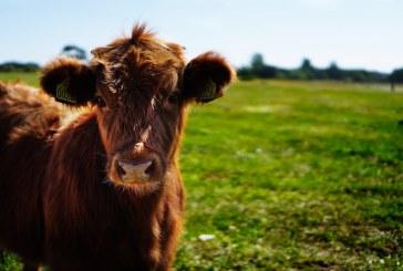 Кой ще получи субсидии за животни под селекционен контрол