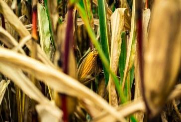 40 % от царевицата в Силистренско е прибрана