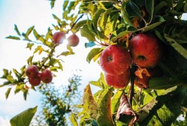 В Кюстендилско реколтата от ябълки е повече от изобилна