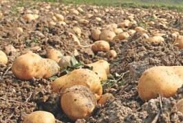 Производство на картофи с лятно засаждане