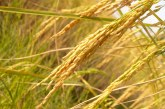 Отглеждането на ориз става все по-скъпо занимание
