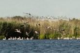 Розов пеликан се излюпи в резервата сребърна