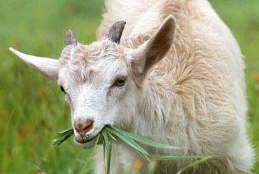 Отпускат 776 хил. лв. по de minimis за овце и кози-майки под селекция