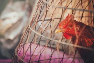 Защо европейците искат свободно отглеждани животни