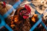Oт началото на 2014 до 2018 г. броят на отглежданите птици в Кърджалийско бележи ръст от 50%