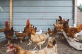 България произвежда едва 0,76% от птичето месо в ЕС