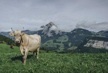 Как рогата на кравите се оказаха решаващи за субсидиите