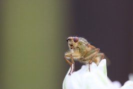БАБХ алармират за житни мухи по есенниците