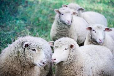 Защо предпочитани за отглеждане са пчелите и млечните овце