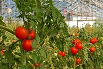 Значително поскъпване има в цената на оранжерийните домати в страната