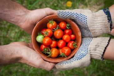 Особености при средно ранното полско производство на домати