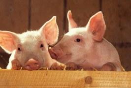 Украйна отчете рекорден износ на свинско месо