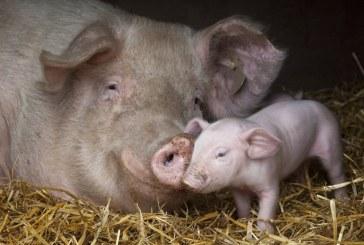 Защо Дания има успех в развъждането на свине
