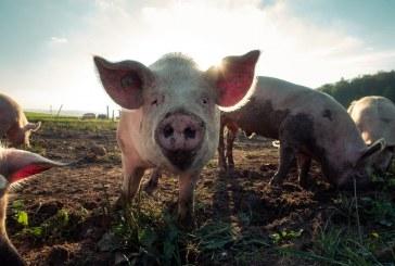 Зареждат с нови животни свинекомплекса в Голямо Враново