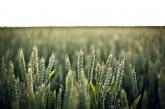 В Ямболско засяха по-малко пшеница