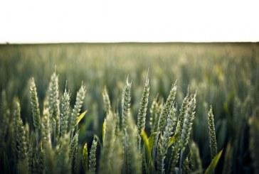 416 000 дка с пшеница са засели в Сливенско