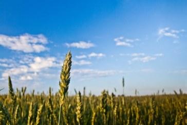 Над 9,5 млн. дка пшеница е засята тази есен