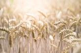 Пшеницата поскъпна у нас и по света