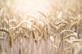 Цените на зърнените култури бавно тръгнаха нагоре
