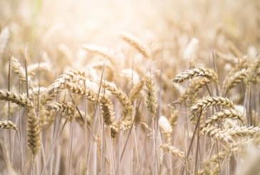 До 625 кг/дка стигна средният добив на пшеница в Добричко