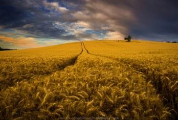 ФАО очаква по-висок добив на пшеница за тази година