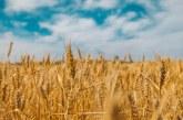 60 % от засетите с пшеница площи в Ямболско са ожънати