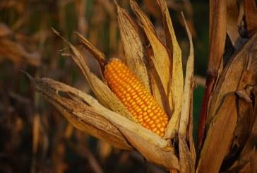 627 кг/дка е средният добив на царевица в Шуменско