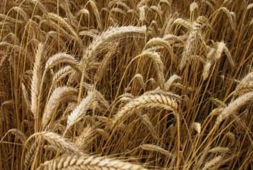 68,5 милиона тона зърно е реколтата в Украйна