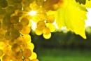 Средният добив на грозде в Силистренско варира между 390 – 640 кг/дка